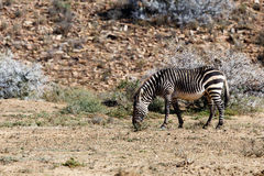 De eenzame zebra van de Kaapberg op het gebied Stock Afbeeldingen