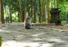 De eenzame zitting van de macaqueaap op de grote steen die zijn vriend in de tuin wachten stock fotografie