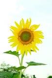 De eenzame zonnebloem met de couldy dag Stock Fotografie