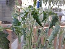 De eerst weinig groene tomaat Stock Afbeeldingen