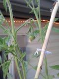 De eerst weinig groene tomaat Royalty-vrije Stock Fotografie