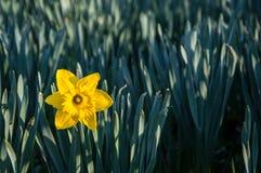De eerste bloem van de lentenarcissen Royalty-vrije Stock Fotografie