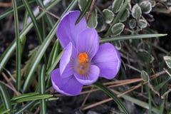 De eerste bloem van de lente royalty-vrije stock foto's
