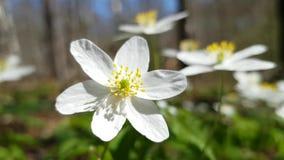 De eerste bloemen van anemoon anemà ³ Ne nemorà ³ sa in het gebied van Leningrad Bloemen van het sneeuwklokje van Noordwestruslan stock video