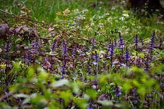 De eerste bloemen van lavendel royalty-vrije stock foto