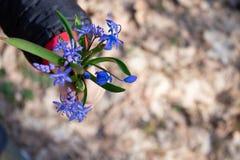 De eerste bloemen van de lente Sneeuwklokjes in de bos Blauwe kleine sneeuwklokjes op de palmen van een kind stock afbeelding