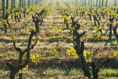 De eerste de lentebladeren op a trellised wijnbouw in wijngaard stock foto's