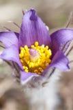 De eerste de lentebloem PulsatillaPatens royalty-vrije stock fotografie