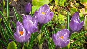 De eerste de lentebloemen stock videobeelden