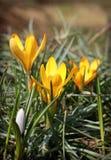 De eerste de lentebloemen en het gras Royalty-vrije Stock Foto's