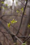 De eerste groene bladeren in de lente Stock Foto