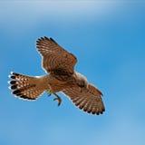 De eerste jacht van de torenvalk (Falco tinnunculus) Stock Foto's