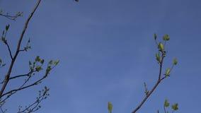De eerste kleine bladeren, de knoppen en de takken van de tulpenboom in de lente 4K stock footage