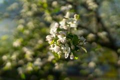 De eerste de lente bloeiende struiken en de bomen stock afbeeldingen