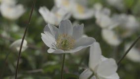 De eerste lente bloeit Anemone Dubravnaya stock footage