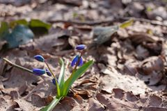 De eerste lente bloeit blauwe sneeuwklokjes royalty-vrije stock foto's