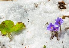 De eerste lente bloeit in de smeltende sneeuw Royalty-vrije Stock Foto