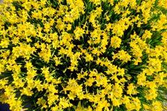 De eerste lente bloeit gele gele narcissen De achtergrond van de lente Stock Afbeelding