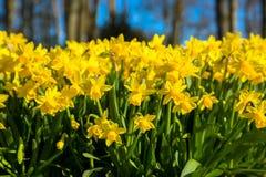 De eerste lente bloeit gele gele narcissen De lente bloemenbackgro Stock Foto