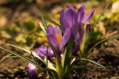De eerste de lente violette krokussen stock afbeeldingen