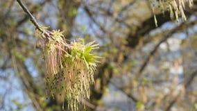 De eerste de lentebladeren op een boomtak tegen achtergrond met knoppen en blauwe bewolkte hemel in dichte omhoog langzame motie  stock footage