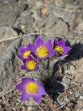 De eerste de lentebloemen royalty-vrije stock afbeeldingen