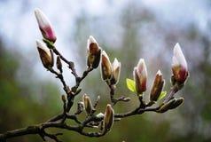 De eerste mooie tekens van de lente - bloemen van magnolia royalty-vrije stock foto