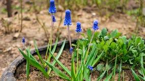 De eerste onopvallende bloemen Muscari verschenen voor de lente stock afbeelding