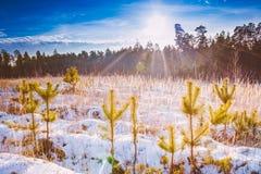De eerste Sneeuw behandelde het Droge Gele Gras in Bos Stock Fotografie