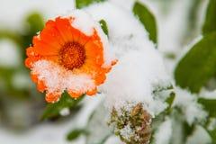 De eerste sneeuw viel op een bloem stock fotografie