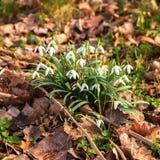 De eerste sneeuwklokjes van de lentebloemen De bloemenachtergrond van de lente Stock Afbeeldingen