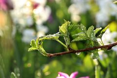 De eerste spruiten van framboos in de lente met dalingen op de bokehachtergrond, royalty-vrije stock afbeelding
