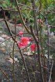 De eerste tekens van de lente - heldere rode bloemen op een struik Stock Foto