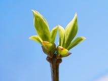 De eerste tot bloei komende tak met bladeren op blauwe hemel Royalty-vrije Stock Afbeeldingen