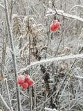 De eerste winter het morgning op een rode bes royalty-vrije stock fotografie
