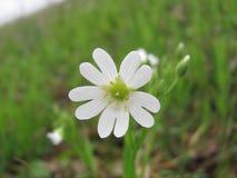 De eerste wite zuivere bloem bij de lente Royalty-vrije Stock Foto
