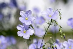 De eeuwigdurende sier mooie bloemen van Linumlewisii, heldere lichtblauwe bloeiende installatie stock afbeeldingen