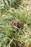 De egel ligt in het groene gras stock foto's