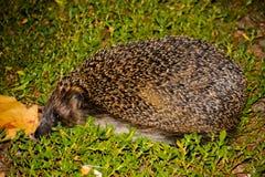 De egel op het groene gras stock foto's