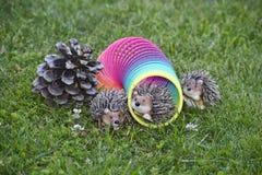 De egels spelen met stiekem op het gazon naast denneappel royalty-vrije stock afbeelding