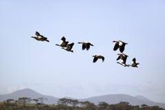 De Egyptische Ganzen vliegen in vorming boven Meer Naivasha, Groot Rift Valley, Kenia, Afrika Royalty-vrije Stock Afbeelding