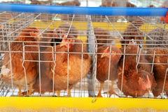 De eieren van de landbouwbedrijfkip Stock Afbeeldingen