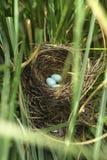 De eieren van de merel in het nest stock afbeeldingen