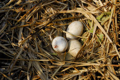 De Eieren van de pelikaan Stock Afbeelding