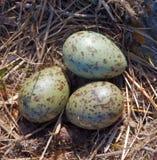 De Eieren van de vogel. stock foto's