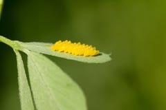 De eieren van het insect Stock Afbeeldingen