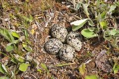 De Eieren van Killdeer stock afbeeldingen