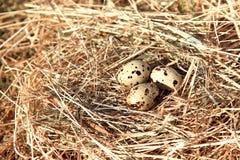 De eieren van kwartels in een nest van hooi Stock Foto