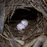 De eieren van mangrovepitta Royalty-vrije Stock Foto
