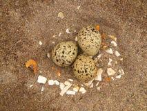 De Eieren van de oestervanger Stock Foto